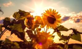 sunflower and fresh air